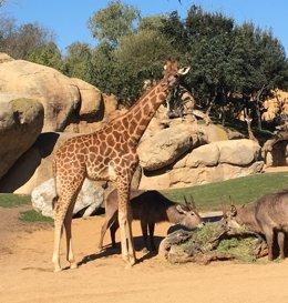 Girafa en Bioparc de València