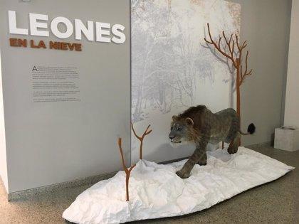 El MEH exhibe por primera vez fuera del País Vasco el esqueleto del león de Arrikrutz