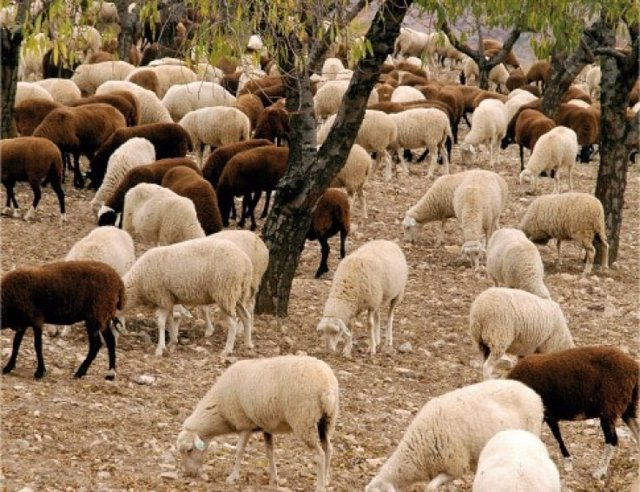 Oveja chamarita autóctona de La Rioja