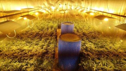 Incautan más de 500 plantas de marihuana en Catarroja (Valencia) en dos operaciones en un día