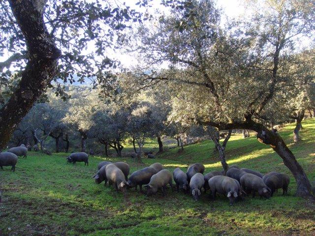 Cerdos se alimentan en una dehesa de Los Pedroches