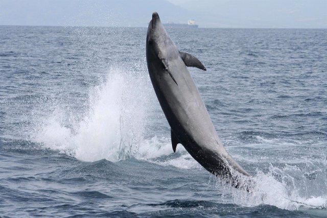 Ejemplar De Delfín En El Golfo De Cádiz