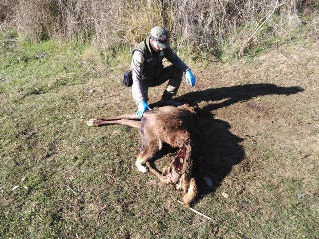 Un guarda forestal con un ciervo abatido