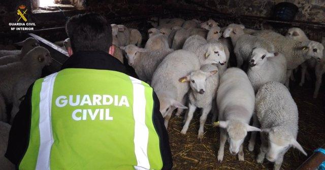 Corderos recuperados por la Guardia Civil.