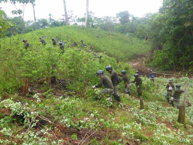 Campos de coca ilegales en Perú