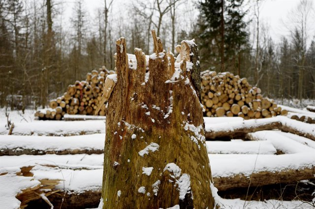 Logged stub and trees are seen at one of the last primeval forests in Europe, Bi