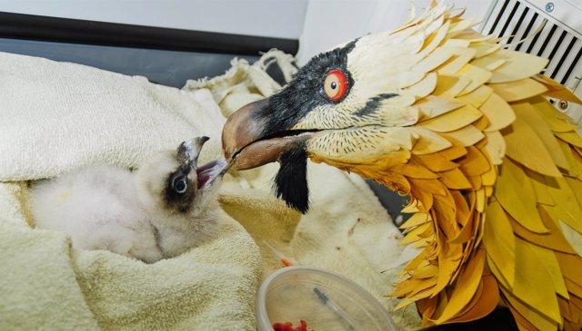 Pollo de quebrantahuesos y marioneta para alimentarlo en la incubadora