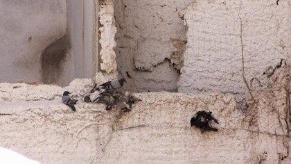 Ayuntamiento de Ciudad Real analizará qué hacer con la red de un edificio en la que quedan atrapadas aves