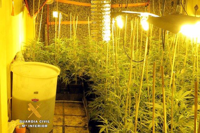Plantas de marihuana en Treto