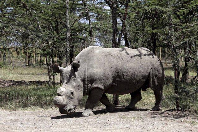 Sudan, el último macho de rinoceronte blanco