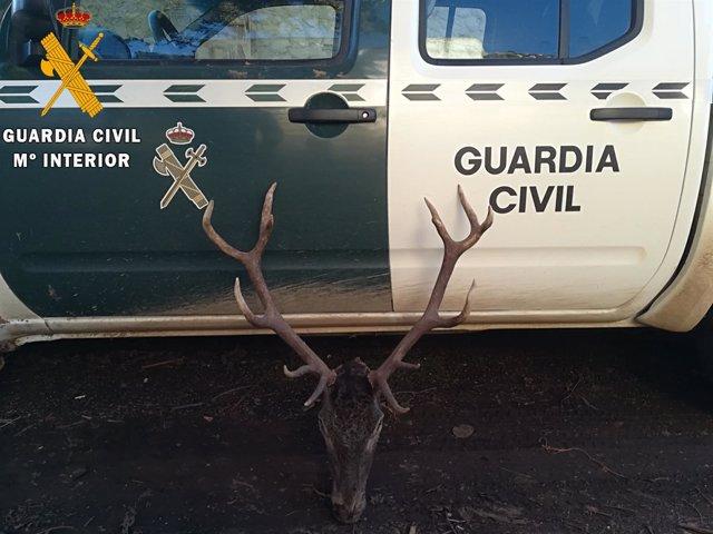 Cornamenta de ciervo cazado irregularmente en Palencia. 2-4-2018