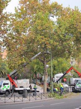 Técnicos Municipales Podan Árboles En El Plan De Gestión Del Arbolado De Madrid