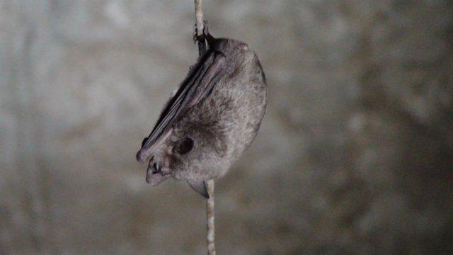 Murciélago patudo