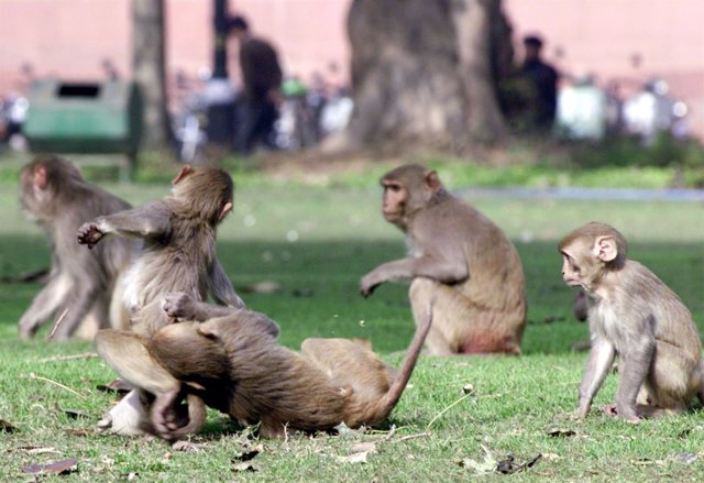 Monos cerca del Parlamento de India, en Nueva Delhi