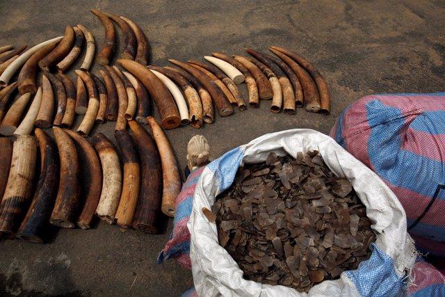 Colmillos de elefante y escamas de pangolín incautados en Costa de Marfíl