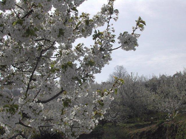 Floración Cerezos Jerte