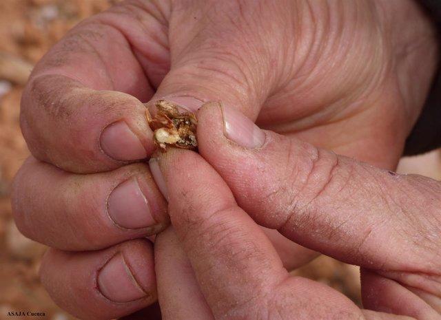 Larva avispilla en almendro
