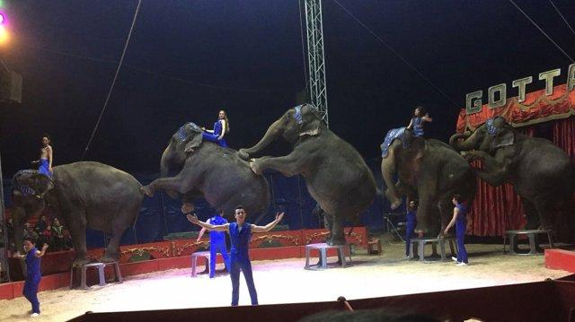 Elefantas del Circo Gottani, que sufrieron un accidente de tráfico en Albacete