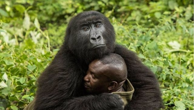 Gorila y cuidador