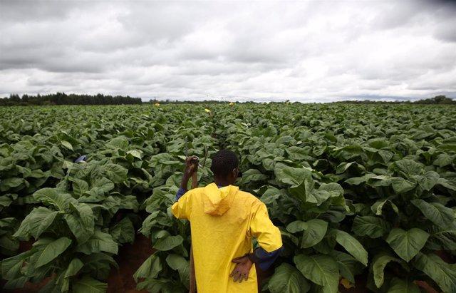 Plantación de tabaco en Zimbabue