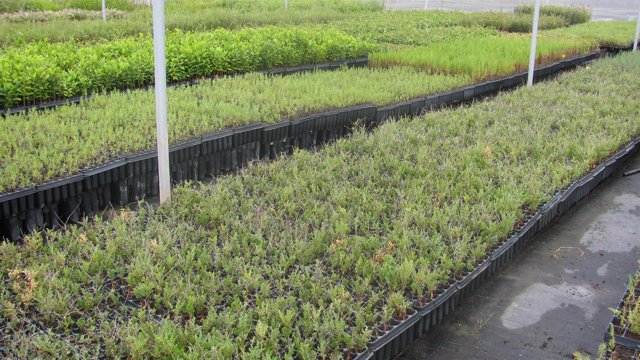 Plantones usados en Rambla Morales
