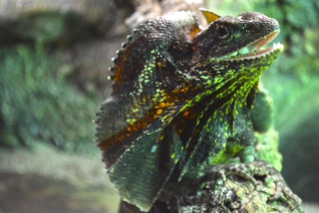 Unos de los ejemplares de lagarto collar
