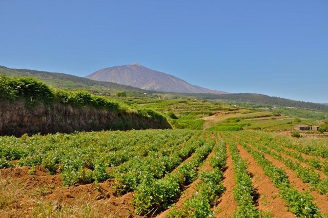 Finca de papas en el norte de Tenerife. Recurso agricultura, campo