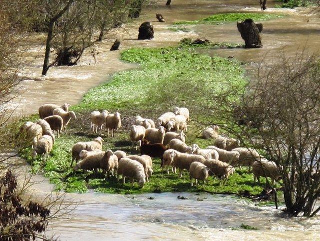 Ovejas en el río Aragón a su paso por Cáseda.