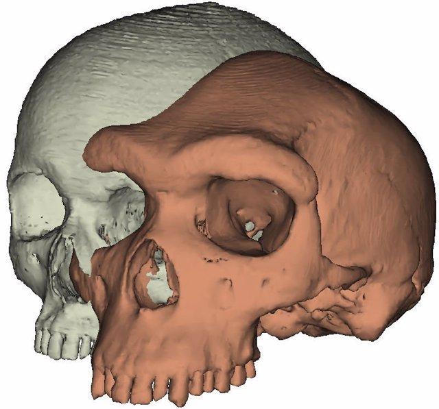 Modelo de cráneo moderno