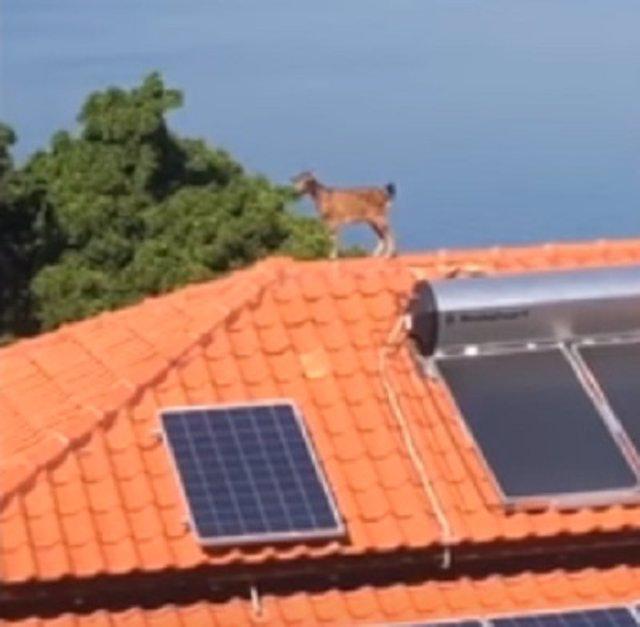 Una cabra aparece en el tejado de una casa de Perth, Australia