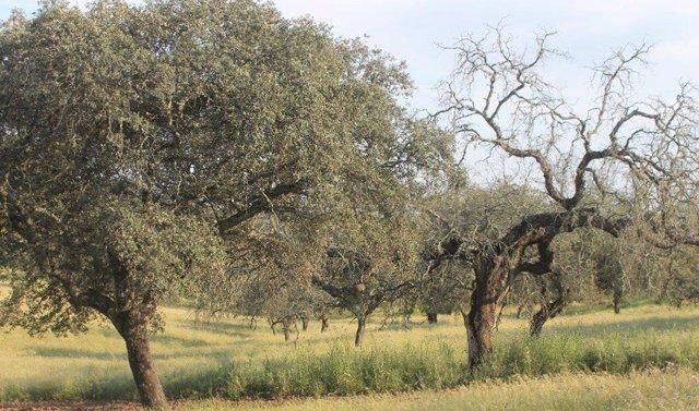 Dehesa andaluza afectada por la seca