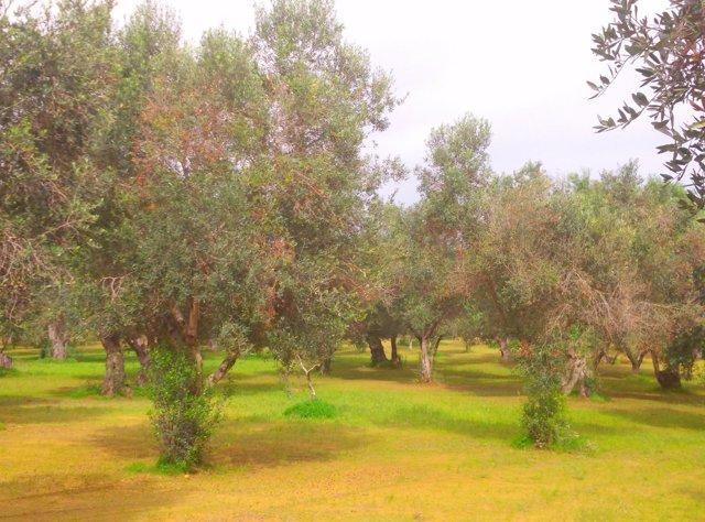 Olivos afectados por Xylella fastidiosa