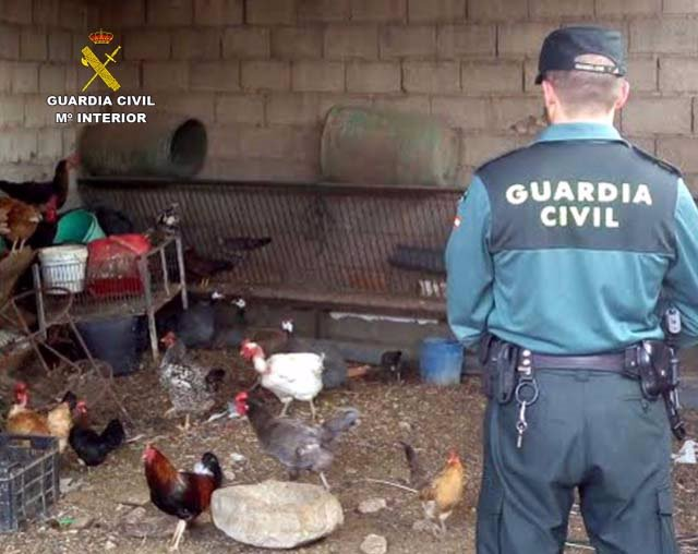 Gallinas robadas y recuperadas por la Guardia Civil