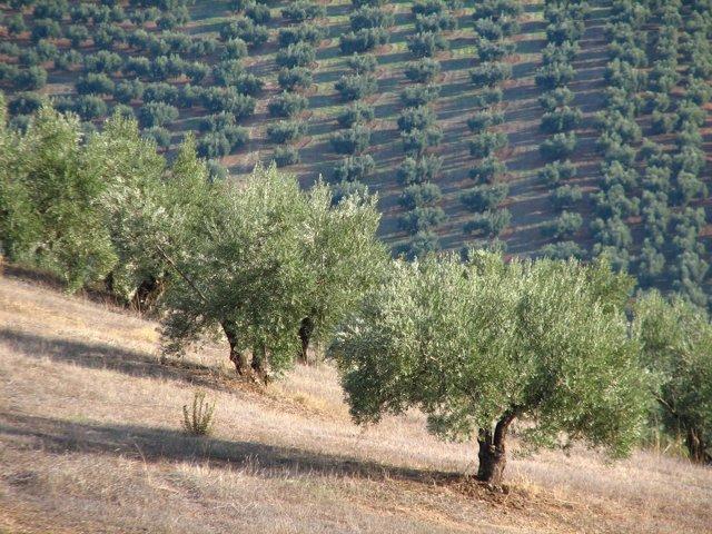 Imagen de archivo de un olivar jiennense.