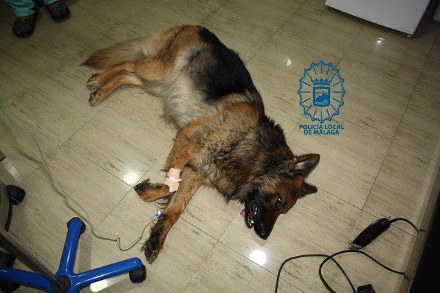 Perro maltratado por un hombre que murió tras ser intervenido quirúrgicamente