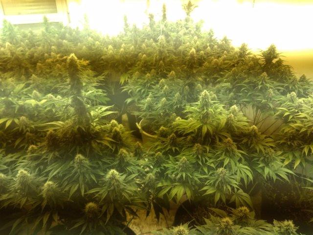 Desmantelada una plantación de cannabis en un domicilio de Alcantarilla