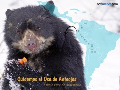 El oso autóctono de América del Sur en peligro de extinción