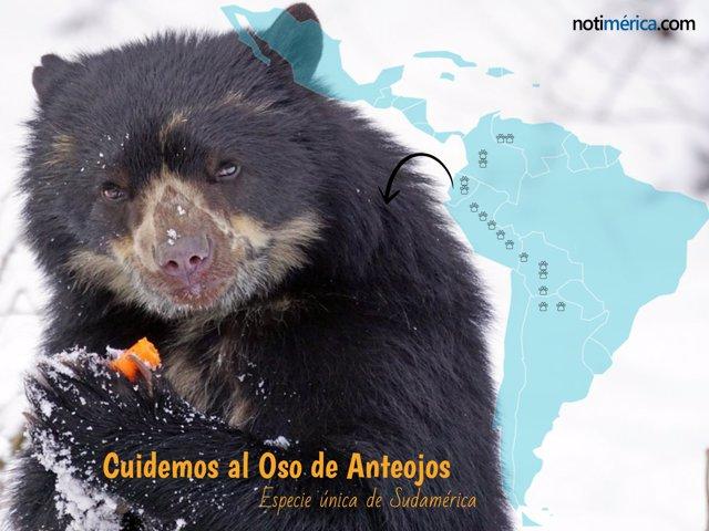 El oso de anteojos, especie sudamericana en peligro de extinción