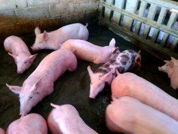 Granja de cerdos en Gallur, inundada por la avenid