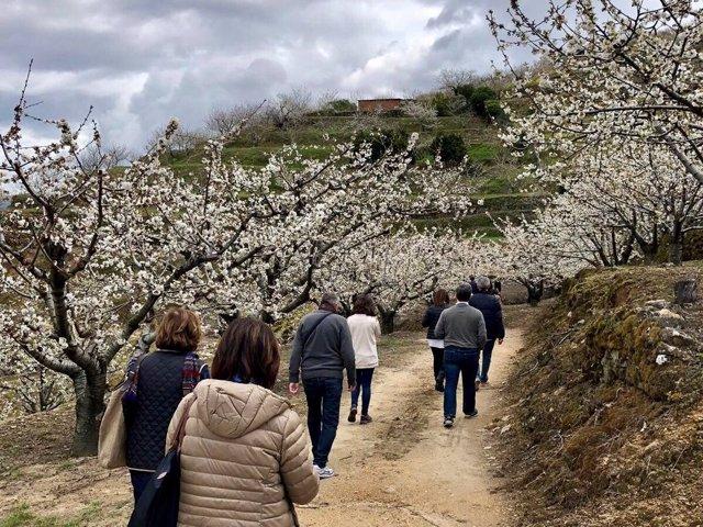 Visitantes pasean entre los cerezos en flor del Valle del Jerte