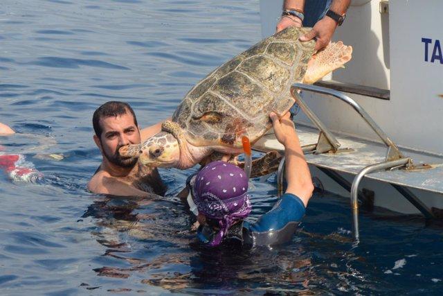 Reintroducción en el mar de una tortuga boba (archivo)