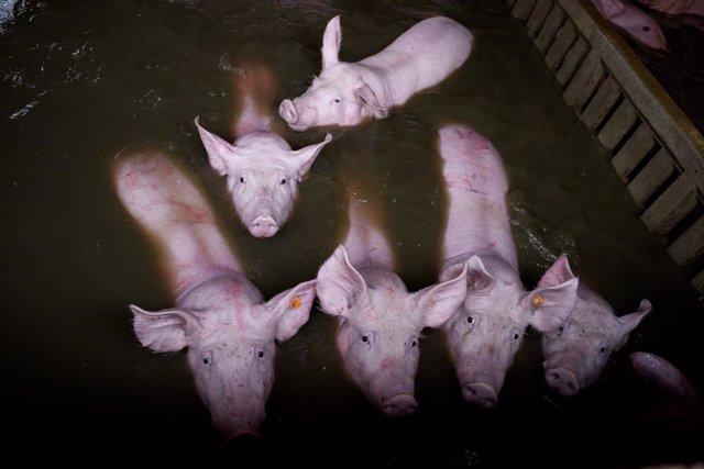 Cerdos anegados en granjas de Aragón tras las crecidas del abril de 2018