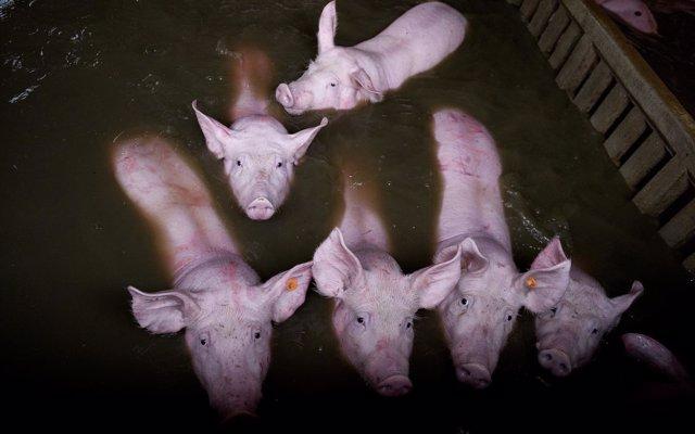 El PACMA muestra imágenes de los efectos de las riadas en Aragón en vacas y cerdos