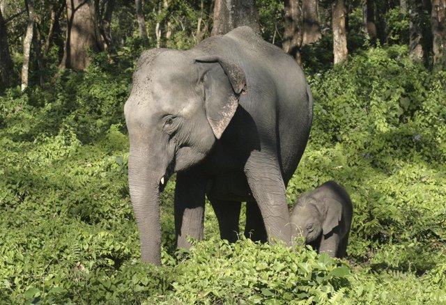 Elefante asiático en India
