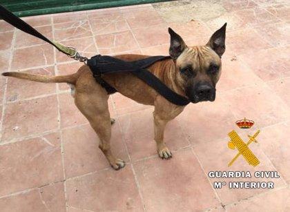 Dos detenidos en Albacete, uno de ellos menor, por sustraer tres 'pitbull' de una protectora para venderlos