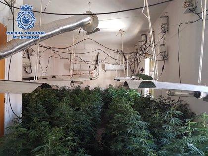 Desmantelado un cultivo con 429 plantas de marihuana en dos viviendas de Almería