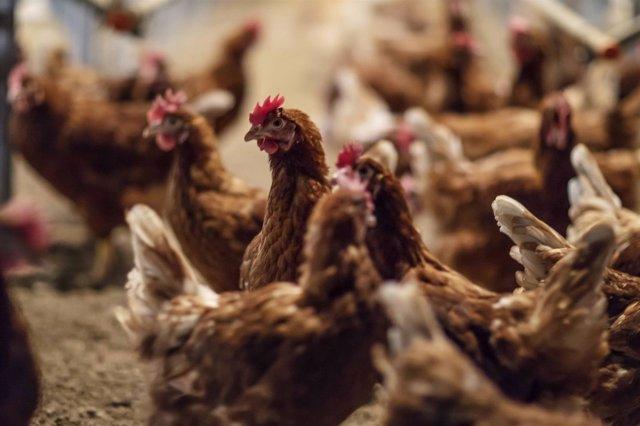 Gallinas criadas en suelo en las instalaciones del interproveedor Huevos Guillén