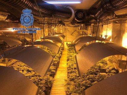 Desmantelado un cultivo hidropónico de marihuana de 1.400 plantas en Alicante y detenidos sus tres responsables