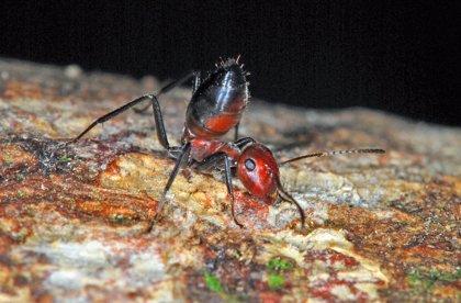 Hormigas se inmolan para liberar 'armas químicas' contra sus enemigos