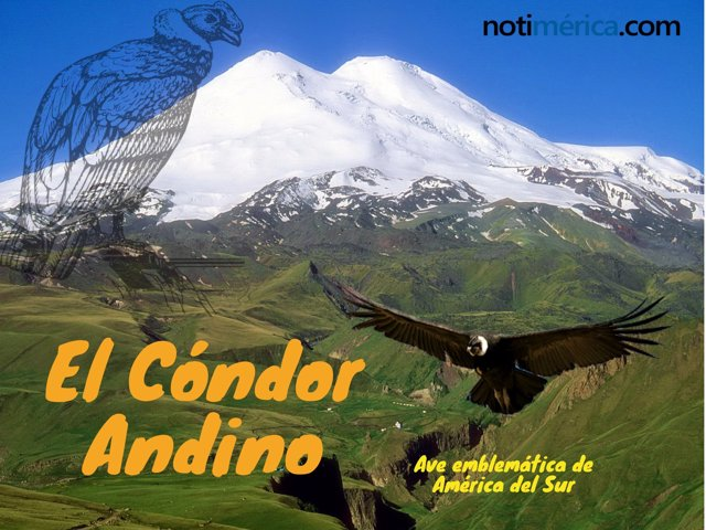 Cóndor Andino, ave emblemática de America del Sur